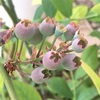 ブルーベリー 実が膨らむ