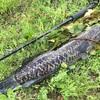 ライヒー(タイワンドジョウ)釣り