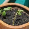 タイのバジル / ガパオ(กะเพรา)とバイ・ホーラパー(ใบโหระพา)を植える!から1週間!