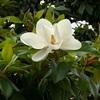 ゴルフ好きならマグノリア・レーンを通ってみたい… そんなマグノリア、大きな白い花が満開です。