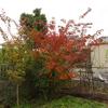 サルスベリ紅葉