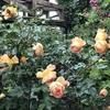 おうちのバラ紹介⑮ パットオースチンと、バラのセールの購入