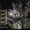 今日の朝見た夜桜が綺麗でした