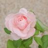 【バラ】今年の秋は目線より下で咲いたナエマと半年経ったマルチングの様子【9月】