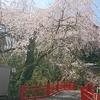 川内 亀岡八幡宮 桜見学