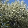 イヌリンゴとジューンベリーの白い花