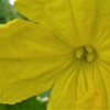 浜ちゃんの作物の花と結実(3)       キュウリの花と結実