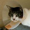 【子宮蓄膿症】【ホルモン剤(発情抑制)】猫の場合は、なかなか気が付かないことも ~妊娠と間違われた例~