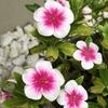 日日草が夏場から引き続き可愛いピンクの花を咲かせてくれています♡