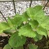 家庭菜園で育てるべき4つの香草