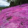 ピンクピンクの芝桜  ~滝上~