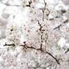 春の嵐と桜と満月と月のモノ
