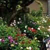 福井ばら会「春のバラ展」無事終了しました