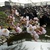 加治川治水記念公園(新発田市)の桜 2021 (3/30)