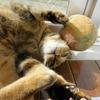 11月前半の #ねこ #cat #猫 どらやきちゃんA