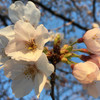 【Twicas】第24回 桜を見に行った話、アクションカメラを買った話、セローのリアサスを変えた話