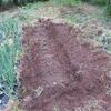 サトイモの植え付けと雑草堆肥づくりとアスパラガスの倒伏防止
