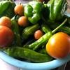 夏野菜。晴れないけれど採れてます♪