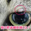 猫の肥満細胞腫の症状と治療法は?再発防止は?