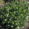 食用菊の挿し芽