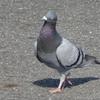 鳥の写真研究発表 カラス 鳩