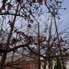 3月6日(水)午後。万代長嶺小学校脇、早咲きの桜、開花。