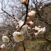 湯河原梅林、梅の宴を見に幕山公園まで行ってみた。(神奈川県足柄下郡湯河原町)
