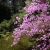 神戸森林植物園。「新緑つつじ・しゃくなげ散策」スタート。残り桜(?)もきれい。野鳥、オオルリ。