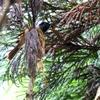 サンコウチョウの巣作り