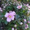 クレマチス[メイリーン]が咲いた♪