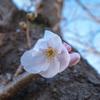 私の開花宣言