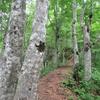 ブナ林の中の道を行く。