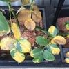 バラの葉が一気に黄色になりました(水切れの可能性か)