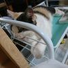 秋深し、子猫のワクチン接種完了(スコティッシュフォールド4ヵ月♀)。家の中や病院内で噛み付く内弁慶のじゃじゃ馬娘も、ご近所回りではかごに乗ったお姫様❓️