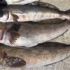 みんなの北海道釣り情報【函館漁港】3時間でアブラコが5匹!具体的な釣り場と釣り方は?