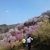 【福レポ】桜が満開!素敵すぎる『花見山』に行ってきました!(@福島)
