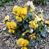 半日蔭の小さな庭に咲く、「小さな冬花(ビオラ等)」が満開!