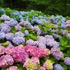 亀ケ城公園の紫陽花