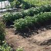 「家庭菜園の今年の作付けが終わりました」~前向きになれない日々とこころ折れた話