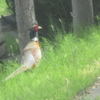 えぃじーちゃんのぶらり旅ブログ~コロナで足止め 北海道石狩市  雉を目撃 編20200614