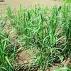 鉢植えジャイアント・ミスカンサス、2年目の苗を畑に植えました(1)!!!