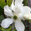 リキュウバイの花