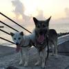 人は生物と暮らすことが精神安定上不可欠なのである。 伴侶犬と躾