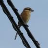 モズ - 秋に鳴く小さな猛禽類 | 鳥紹介