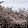 鶴舞公園で花見