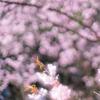 真夏以外は桜の咲く富山