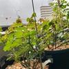 暖かい雨はうどんこ病注意!?葉面散布3回目🌹我が家で、薬害が出やすいバラの品種
