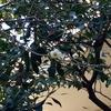 梅、河津桜が咲き始めました。