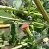 スイカを逆にしたような色の花 ベニバナボロギク