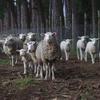 沈黙の羊たち